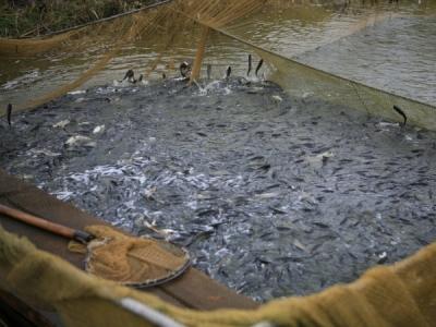 Понад 40 тонн риби вселено до водойм Рівненщини від початку року