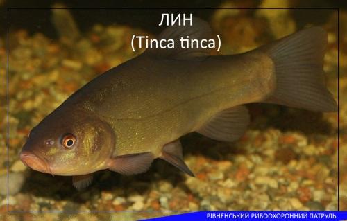 А що ви знаєте про рибу лин?